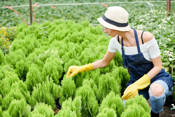 Gardening specialist checking cypress plants