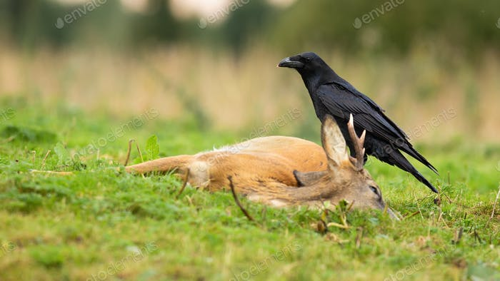 Common raven feeding on a dead roe deer buck in autumn nature