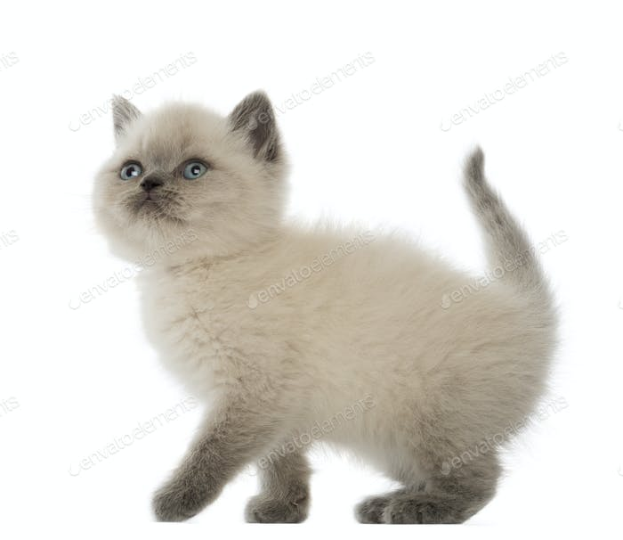 British Shorthair Kitten looking up, 9 weeks old, against white background
