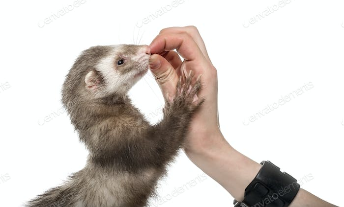 Old ferret eating in human hand, isolated on white