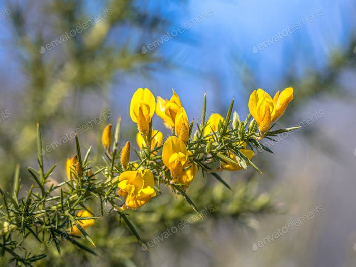 Close up of Common Gorse blooming