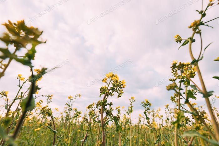 Close Up Of Blossom Of Canola Yellow Flowers Under Cloudy Sky. Rape Plant, Rapeseed, Oilseed Field