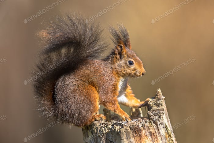 Red squirrel sitting on trunk
