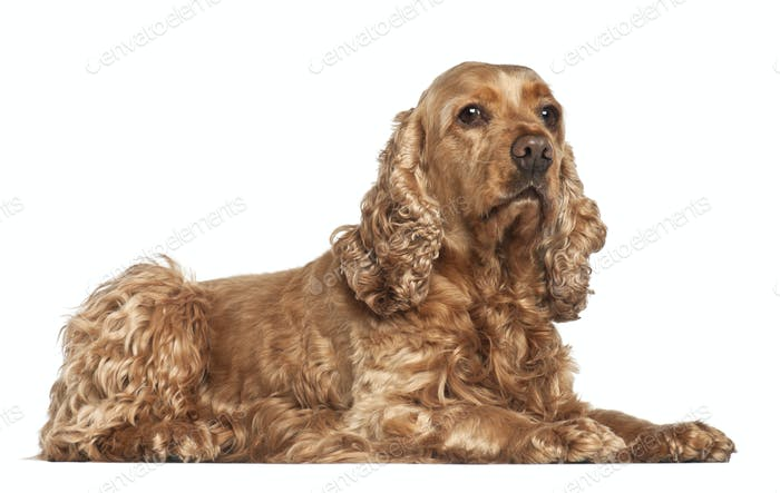 English cocker spaniel, 6 years old, lying against white background