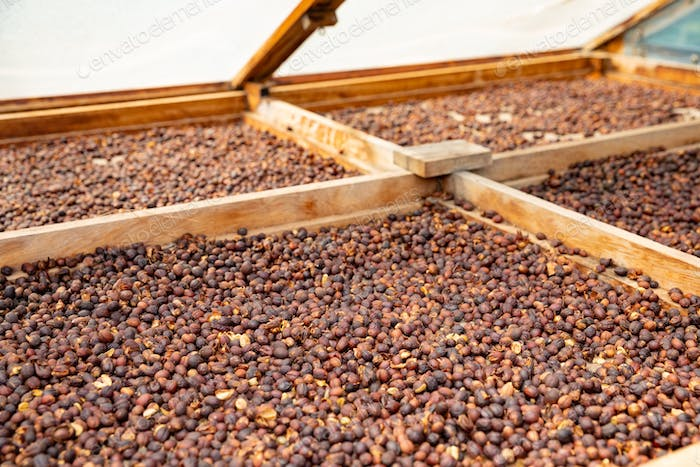 Raw Coffee Beans Drying In Wooden Crate