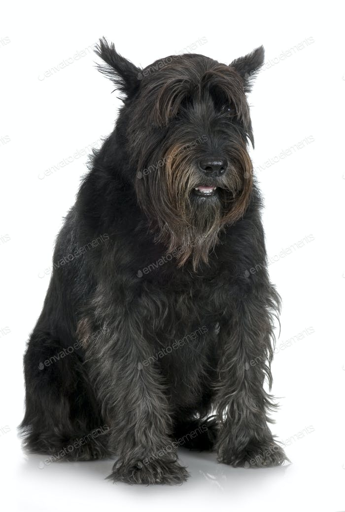 Old Giant Schnauzer (7years)