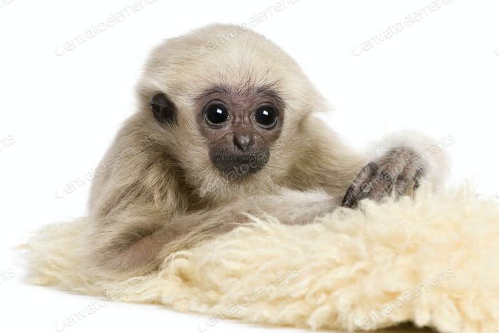 Young Pileated Gibbon, 4 months old, in front of white background
