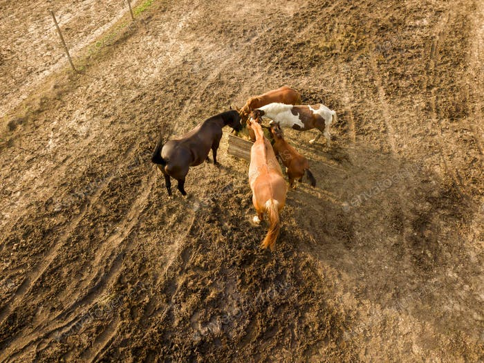 Aerial view from the drone of farm horses grazing and walking on a summer day