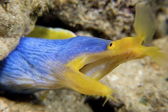 Ribbon Aal in Höhle, ein hellblauer und gelber Aal mit einem großen offenen Mund