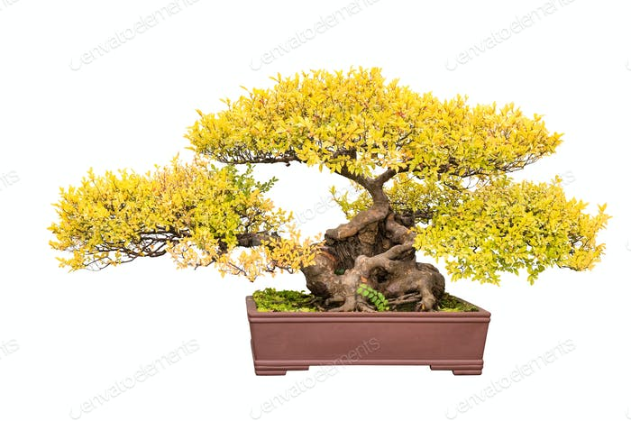 bonsai tree of chinese elm in autumn