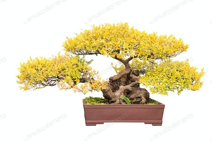 Bonsai Baum der chinesischen Ulme im Herbst