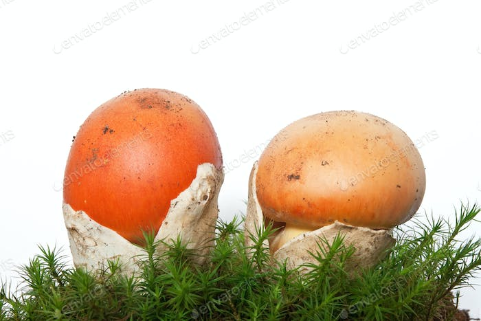 Amanita Caesarea mushrooms with moss