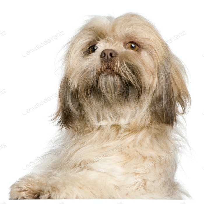Close-up of Shih Tzu, 3 years old, in front of white background