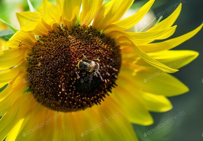 Beautiful summer sunflowers, shaggy bumblebee