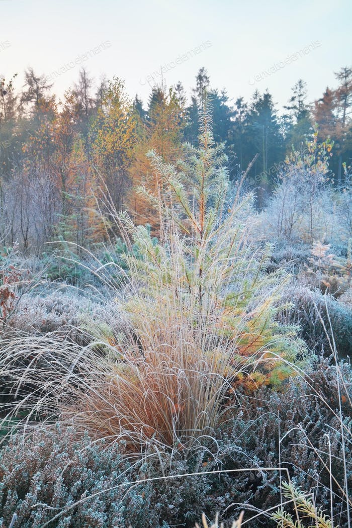 frosted grass and larch in forest