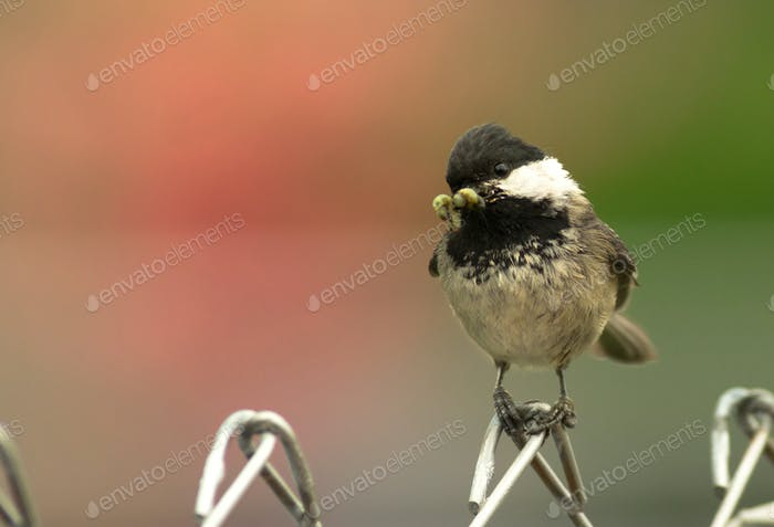 Black-capped Chickadee Bird Perched Fence Worm in Mouth