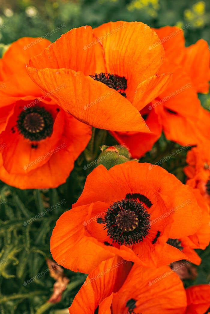 Beautifull vibrant huge poppy flowers growing togheter