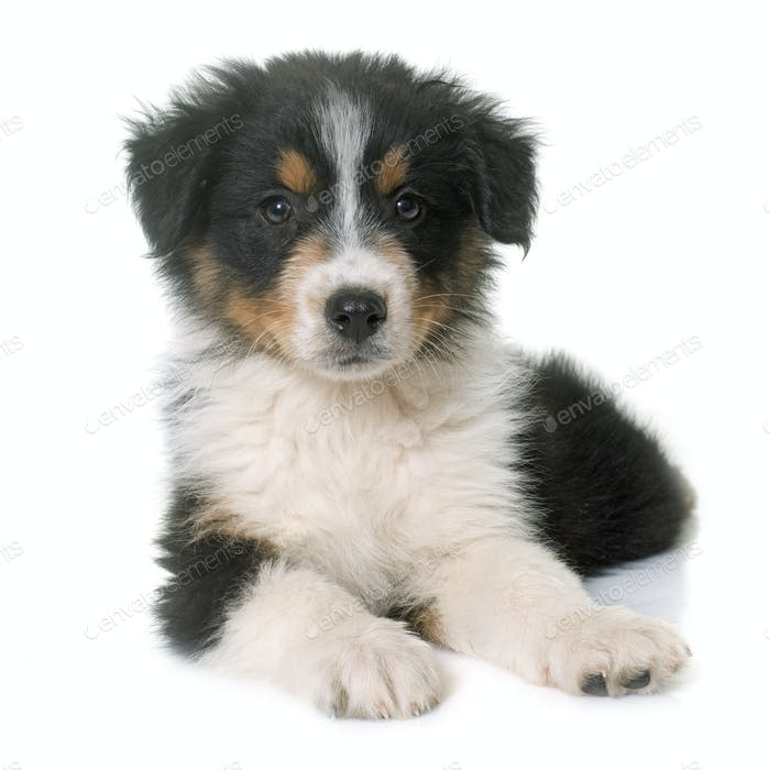 puppy australian shepherd in studio