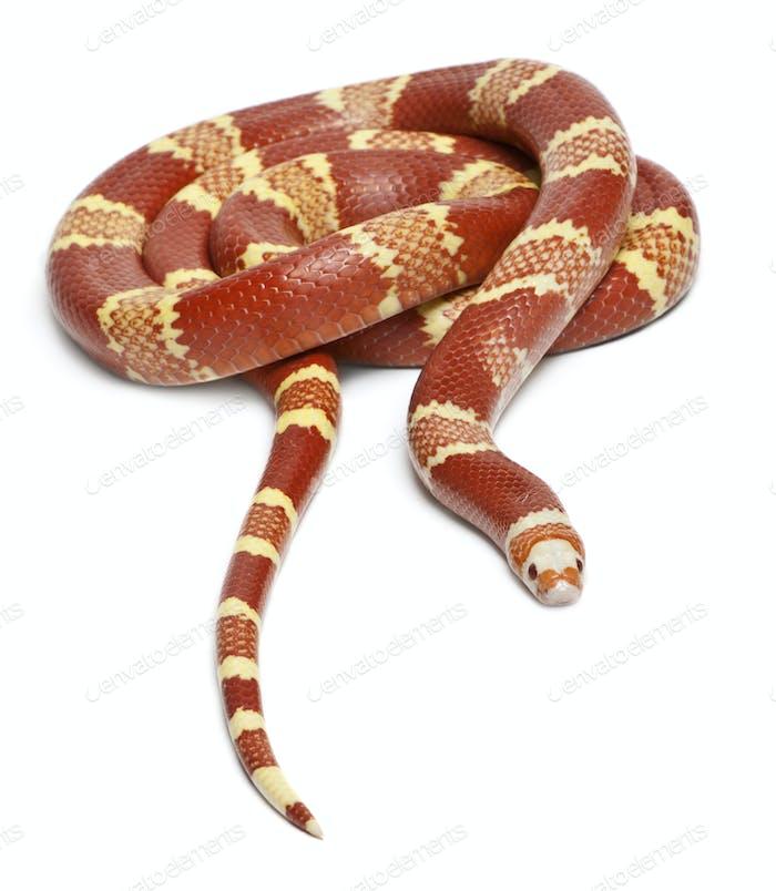 ction Honduran milk snake, Lampropeltis triangulum hondurensis, Albino Tangerine sele