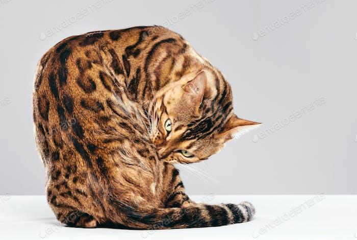 Cat grooming himself. Bengal cat
