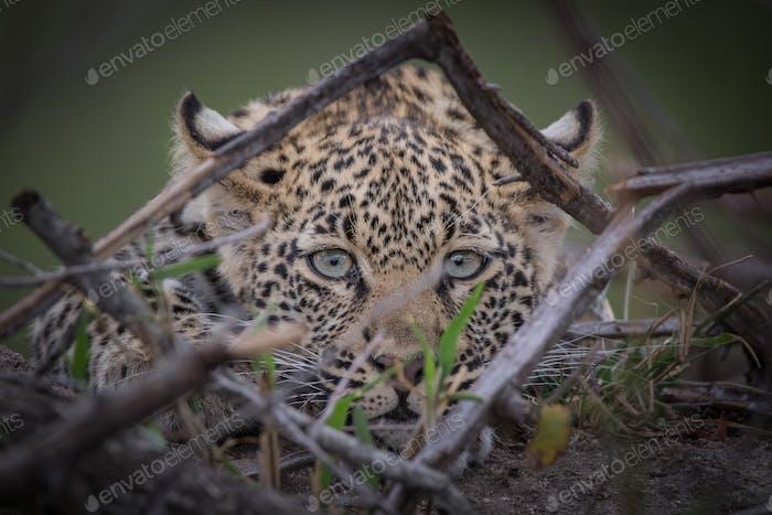 A leopard, Panthera pards, direct gaze