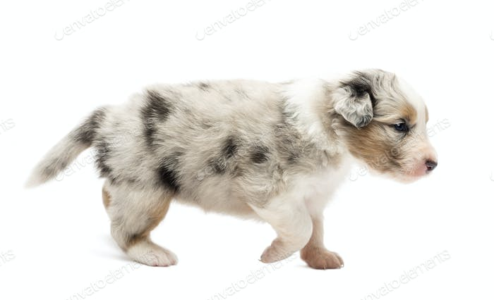 Side view of an Australian Shepherd puppy, 22 days old, walking against white background