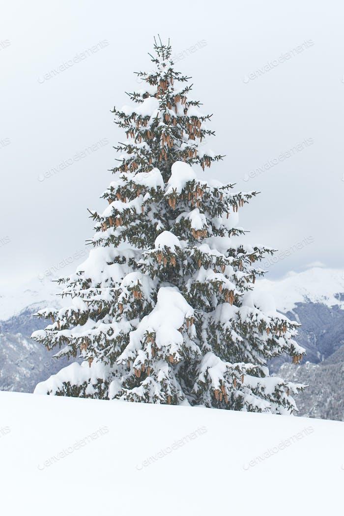 A single fir covered
