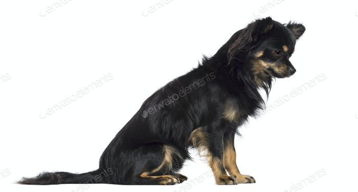 Side view of Chihuahua, 1.5 years old, sitting and looking down against white background