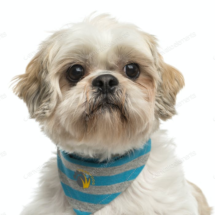 Close-up of a Shih tzu with a bandana, isolated on white