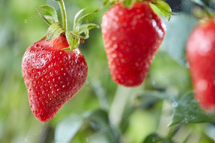 Juicy red strawberries on a stalk with a drop of dew in the garden against the backdrop of greenery