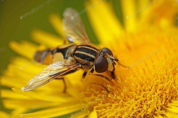 Large tiger hoverfly (Helophilus trivittatus)