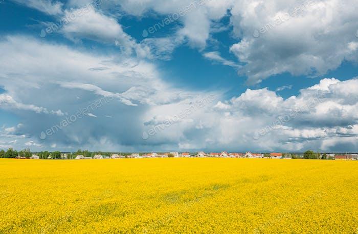 Luftaufnahme der Agrarlandschaft mit blühendem, blühendem Raps, Ölsaaten im Feld und im Dorf