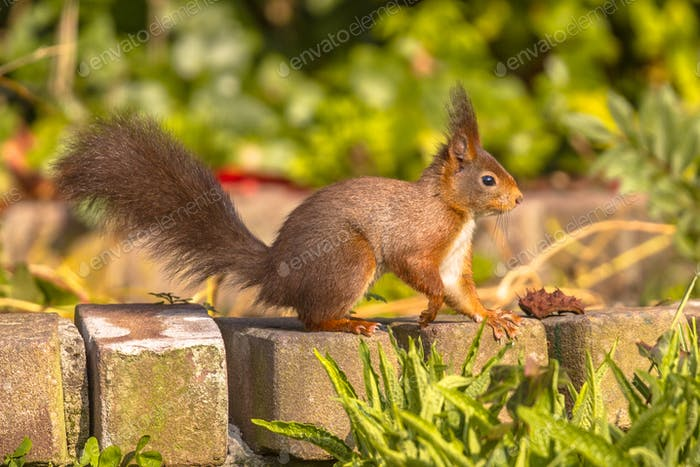 Red squirrel on brick garden wall