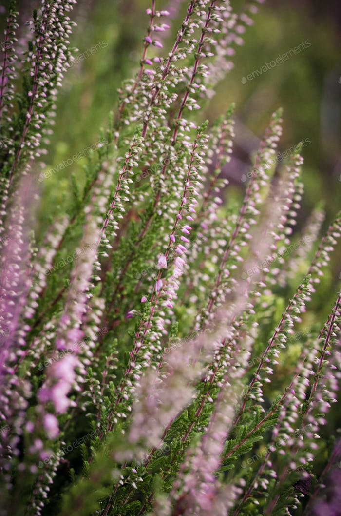 Flowering heather in the spring