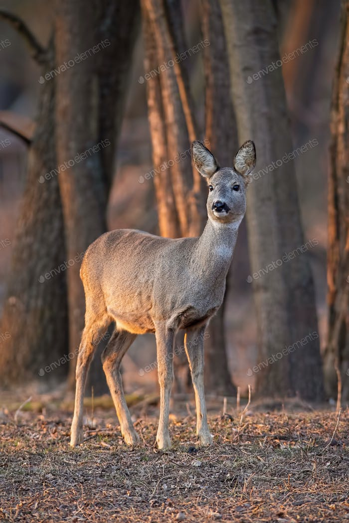 Roe deer, capreolus capreolus, doe standing in forest between trees at sunset