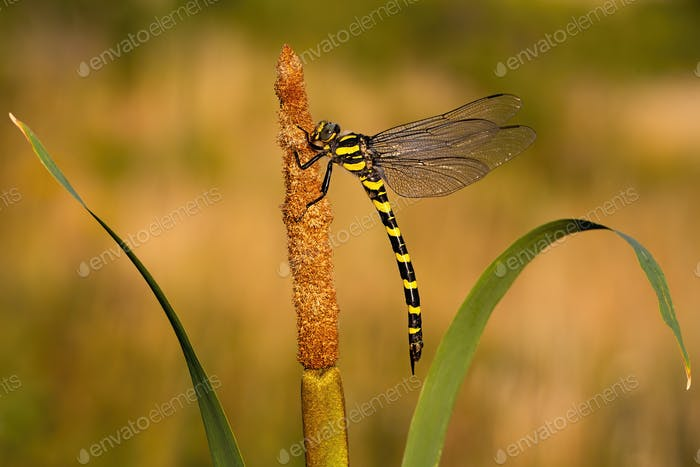 Golden ringed dragonfly resting on bulrush with copy space