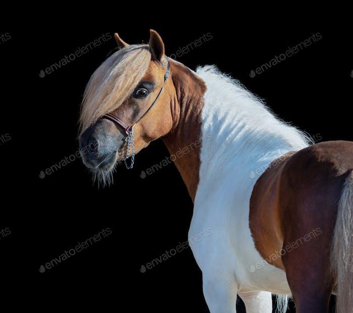 Skewbald Miniature Horse looking back on black background.
