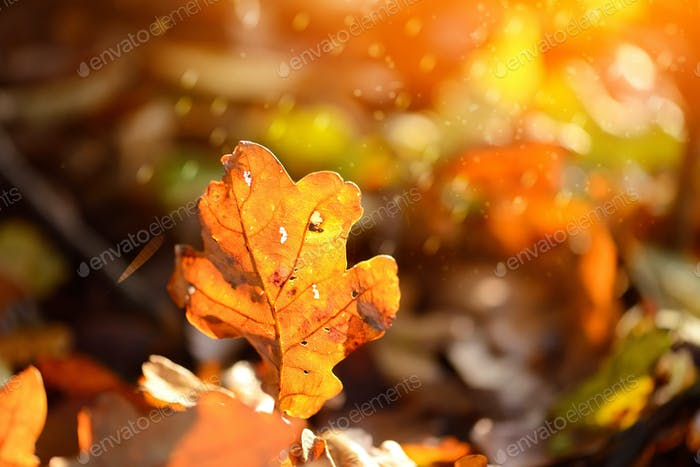 Oak fallen leaves in the sun in the autumn forest