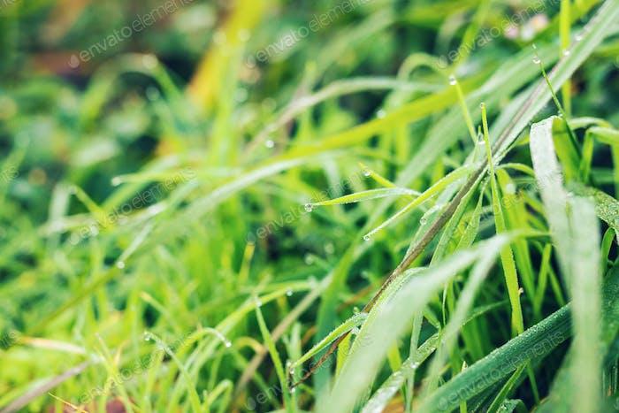 Frisches Gras mit Tautropfen in der Nähe