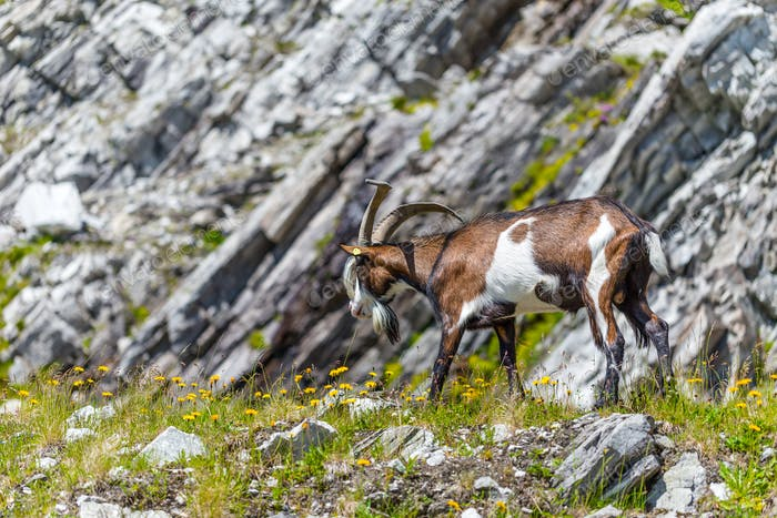 Alps goat