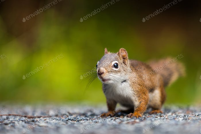 Close-up of a Red Squirrel on the ground.