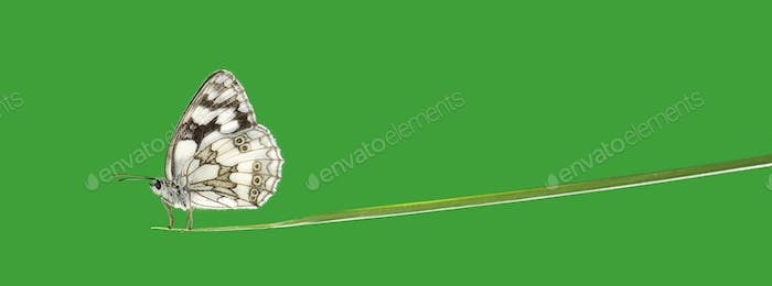 Marbled white, Melanargia galathea, on a blade of grass in front of a green background