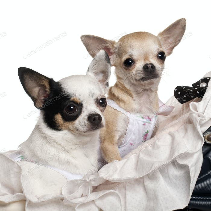 Close-up of Chihuahuas, 1 year old, in baby stroller in front of white background