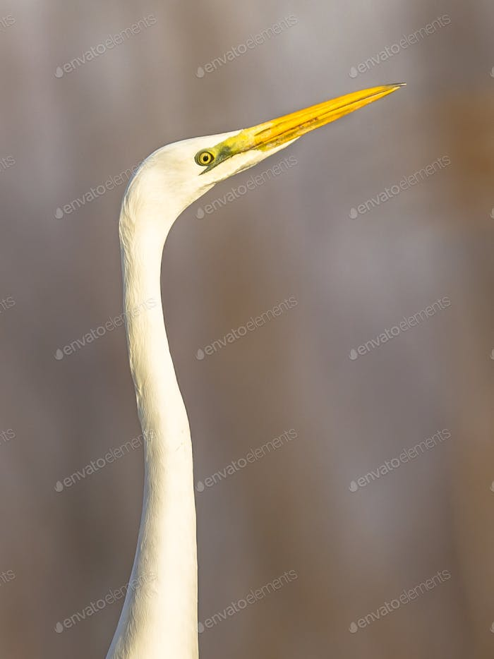 Portrait of Great white Egret