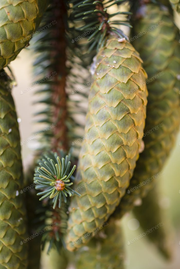 Norway spruce tree pinecones.