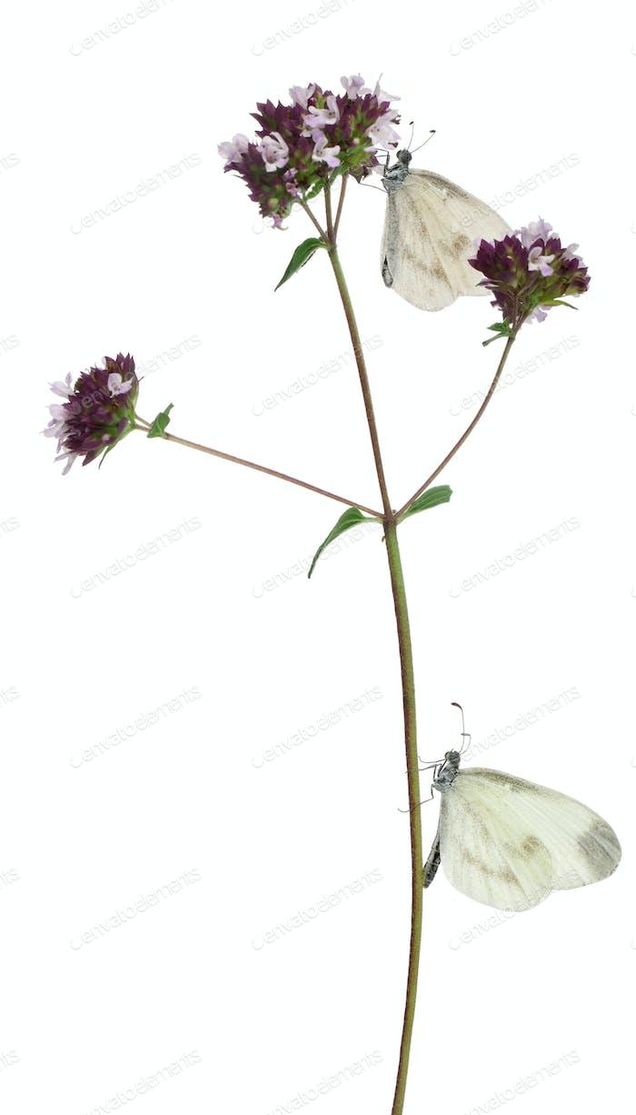 Wood White, Leptidea sinapis, on Oregano in front of white background