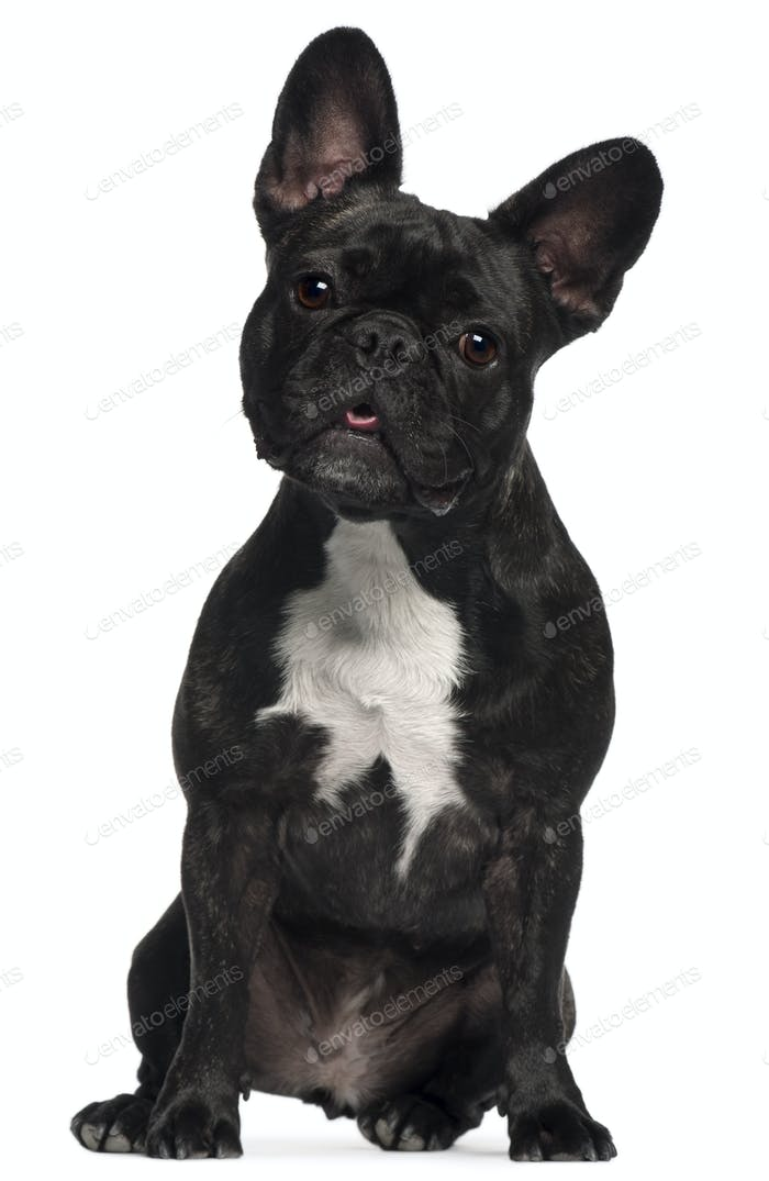 French Bulldog, 2 and a half years old, sitting in front of white background