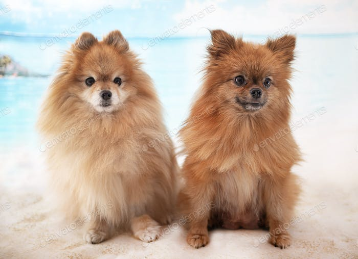 two pomeranian in studio