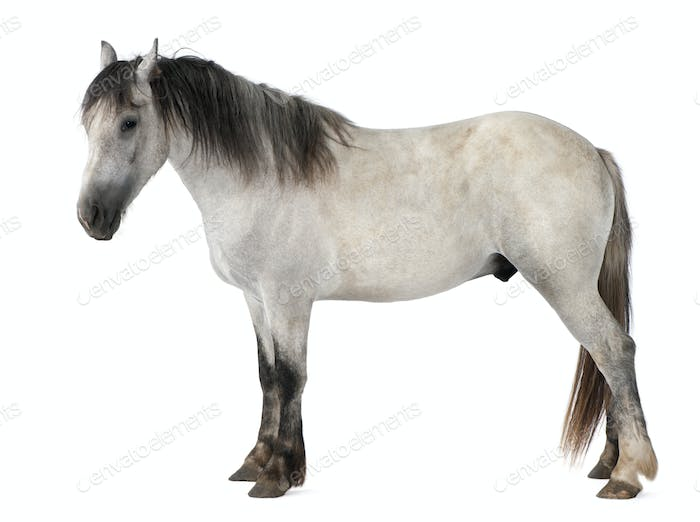 Horse, 2 years old, standing in front of white background