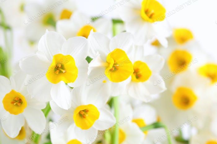 Narzissen Blumen